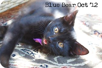 Domestic Shorthair Kitten for adoption in Santa Monica, California - Blue Bear