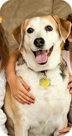 Beagle Mix Dog for adoption in Phoenix, Arizona - Reagan