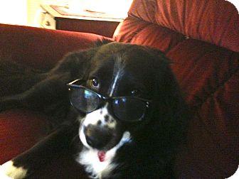 Border Collie/Labrador Retriever Mix Dog for adoption in Gilbert, Arizona - Blossom