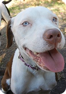 Blue Eyes Adopted Puppy Los Angeles Ca American