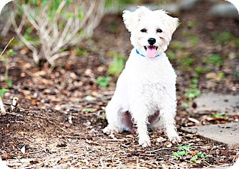 Schnauzer (Miniature)/Poodle (Miniature) Mix Dog for adoption in Houston, Texas - Madeline