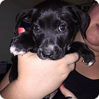 Adopt A Pet :: Artemis - Miami, FL