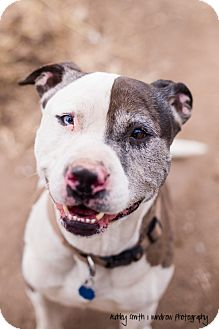 Manhattan Ks Pit Bull Terrier Catahoula Leopard Dog Mix Meet Vinny A Dog For Adoption