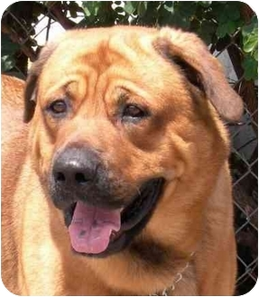Rottweiler mix dog for adoption in rolling hills estates california