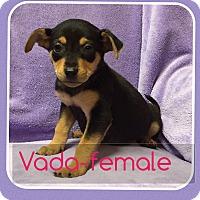Adopt A Pet :: Vayda (pom-dc) - Hagerstown, MD
