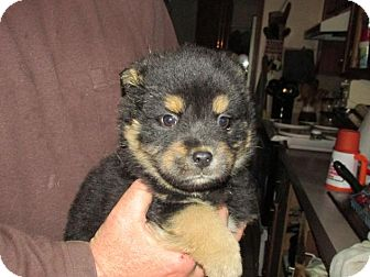 Shepherd (Unknown Type)/Chow Chow Mix Puppy for adoption in Rocky Mount, North Carolina - Kathan