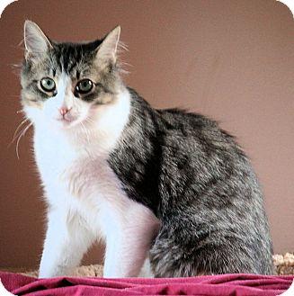 Domestic Mediumhair Kitten for adoption in Morganton, North Carolina - Sully