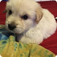 Adopt A Pet :: Little Bear - Las Vegas, NV