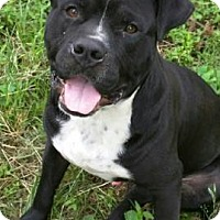 Labrador Retriever/American Pit Bull Terrier Mix Dog for adoption in Albany, New York - Buddy (has been adopted)