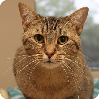 Domestic Shorthair Cat for adoption in Naperville, Illinois - Honeybun