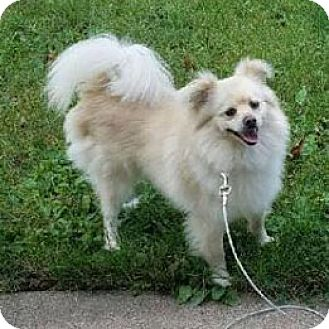 American Eskimo Dog Mix Dog for adoption in Iowa, Illinois and Wisconsin, Iowa - Alpha