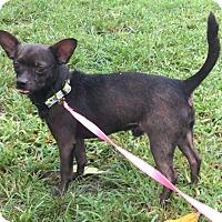 Adopt A Pet :: Waltz - Boca Raton, FL