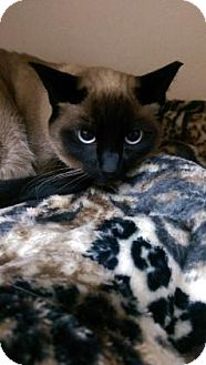Siamese Cat for adoption in Fort Collins, Colorado - Jinx