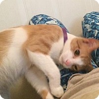 Domestic Shorthair Cat for adoption in Colmar, Pennsylvania - Meeko