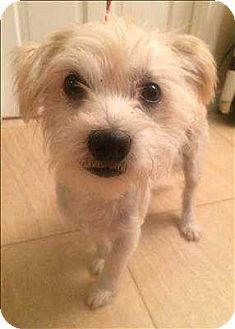 Westie, West Highland White Terrier/Terrier (Unknown Type, Small) Mix Dog for adoption in Encino, California - Fluffy