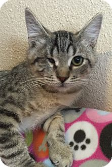 Domestic Shorthair Kitten for adoption in Meridian, Idaho - Cy