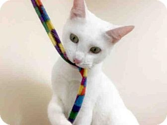 Domestic Mediumhair Cat for adoption in Carlsbad, California - YUKI
