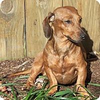 Adopt A Pet :: John Boy in VA - Columbia, TN