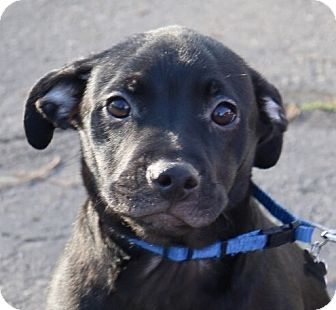 Labrador Retriever Mix Puppy for adoption in Willows, California - Aldo
