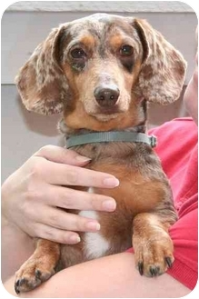 Dachshund Dog for adoption in Garden Grove, California - Freckles