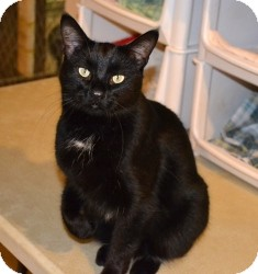 Domestic Shorthair Cat for adoption in Geneseo, Illinois - Maverick