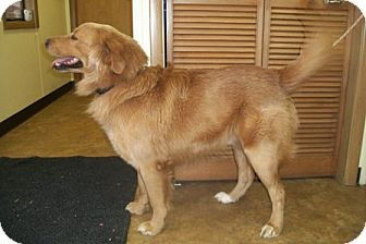 Golden Retriever Dog for adoption in Morgantown, West Virginia - Martin