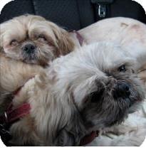 Shih Tzu/Lhasa Apso Mix Dog for adoption in San Francisco, California - Rambo