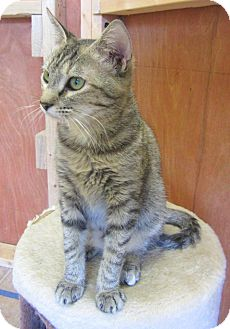 Domestic Shorthair Kitten for adoption in Mobile, Alabama - Bethany