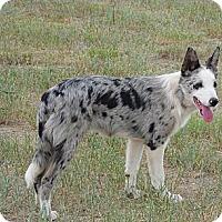 Adopt A Pet :: Glimmer - Denver, CO