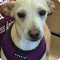 Adopt A Pet :: Petey - Van Nuys, CA