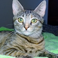 Domestic Shorthair Cat for adoption in Mt. Vernon, New York - Gum Drop