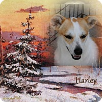 Adopt A Pet :: Harley - Crowley, LA