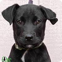 Adopt A Pet :: Koa - Savannah, GA