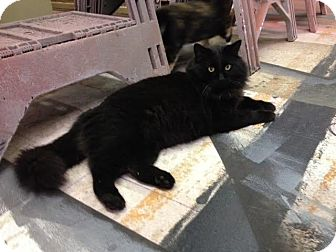 Domestic Mediumhair Cat for adoption in Nashville, Tennessee - Bart