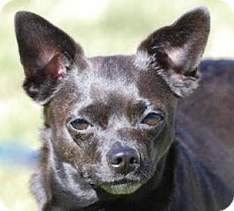 Chihuahua Mix Dog for adoption in Portola, California - Bodie