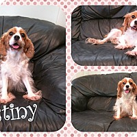 Adopt A Pet :: Destiny - DOVER, OH