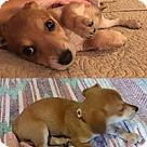 Adopt A Pet :: Desilu Lucy
