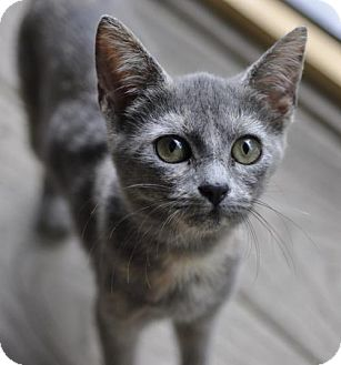 Manx Kitten for adoption in Liberty, North Carolina - Flora