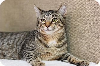 Domestic Shorthair Kitten for adoption in Midland, Michigan - Tiger Dog