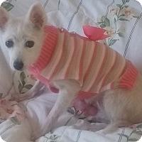 Adopt A Pet :: Precious Angel - St. Louis, MO