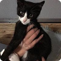 Domestic Shorthair Kitten for adoption in McKinney, Texas - Panda