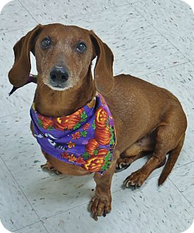 Dachshund Mix Dog for adoption in Chambersburg, Pennsylvania - Oskar