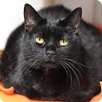 Adopt A Pet :: Midnight Dream	161538 - Atlanta, GA