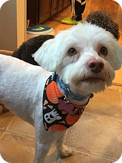 Poodle (Toy or Tea Cup)/Maltese Mix Dog for adoption in Gig Harbor, Washington - Benji