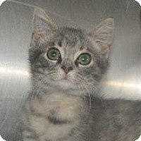 Domestic Mediumhair Kitten for adoption in Germantown, Maryland - Gracie