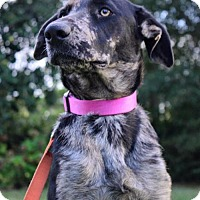 Catahoula Leopard Dog/Shepherd (Unknown Type) Mix Dog for adoption in Seahurst, Washington - Countess