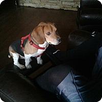 Adopt A Pet :: BEAR - Overland Park, KS