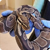 Snake for adoption in Monterey, California - Curt