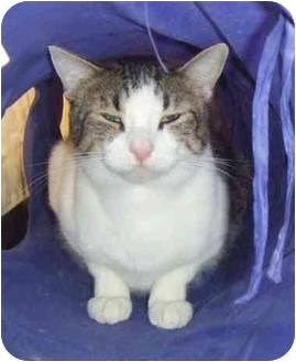 Domestic Shorthair Cat for adoption in Lake Charles, Louisiana - Wemberly
