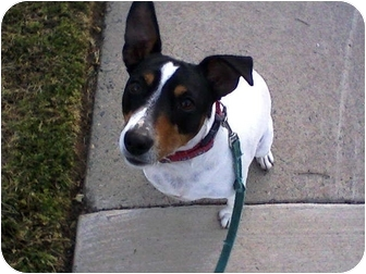 Fox Terrier (Smooth) Dog for adoption in Rancho Cordova, California - Precious